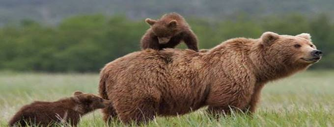 6 days brown bear spotting in deosai plains