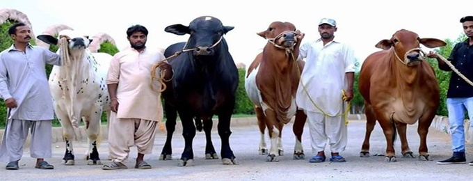 Cow Mandi Pakistan 2017 Opening ceremony | Karachi